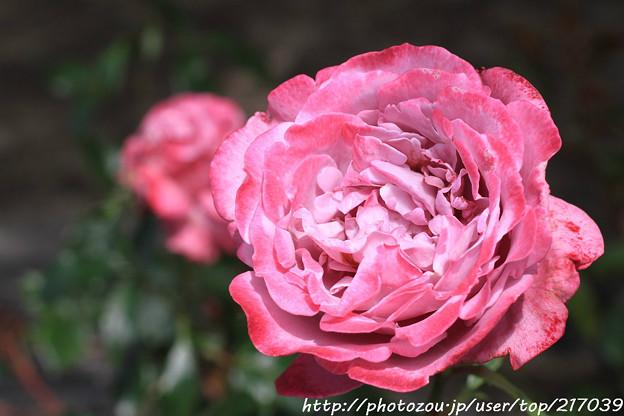 IMG_8448薔薇(ブルーリバー)