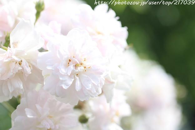 IMG_8468薔薇