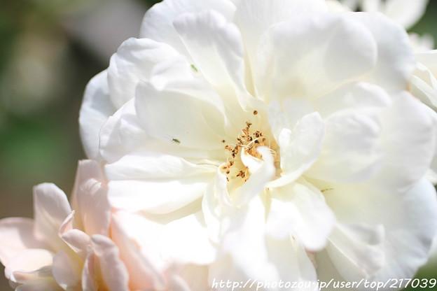 IMG_8471薔薇(ペネロープ)
