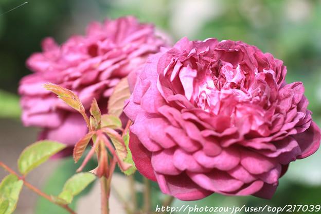 IMG_8496薔薇(カーディナル・ドゥ・リシュリュー)