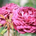 Photos: IMG_8496薔薇(カーディナル・ドゥ・リシュリュー)