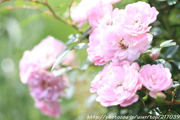 IMG_8526ツル薔薇