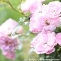 写真: IMG_8526ツル薔薇