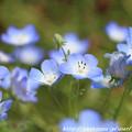 写真: IMG_8536ネモフィラ