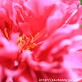 写真: IMG_8621石楠花