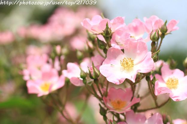 IMG_8638薔薇(バレリーナ)