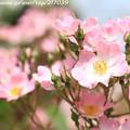 写真: IMG_8638薔薇(バレリーナ)