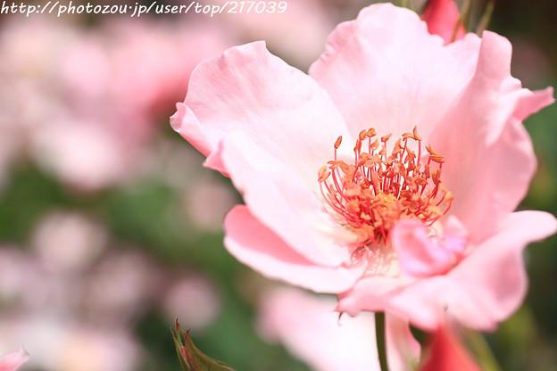 IMG_8642薔薇(ディンティ・ベス)