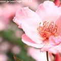 写真: IMG_8642薔薇(ディンティ・ベス)