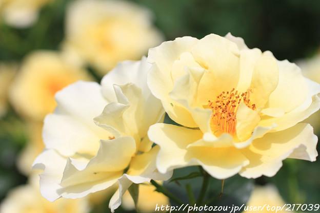 IMG_8646薔薇