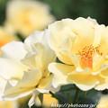 写真: IMG_8646薔薇