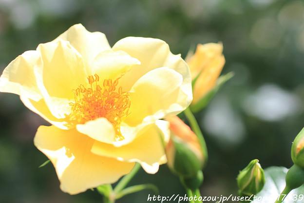 IMG_8649薔薇(キンレンポ)