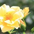 写真: IMG_8649薔薇(キンレンポ)