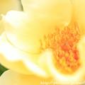 写真: IMG_8653薔薇(キンレンポ)