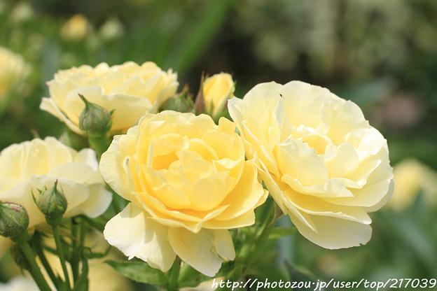 IMG_8661薔薇