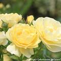Photos: IMG_8661薔薇