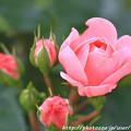写真: IMG_8672薔薇(バイランド)