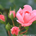 IMG_8672薔薇(バイランド)