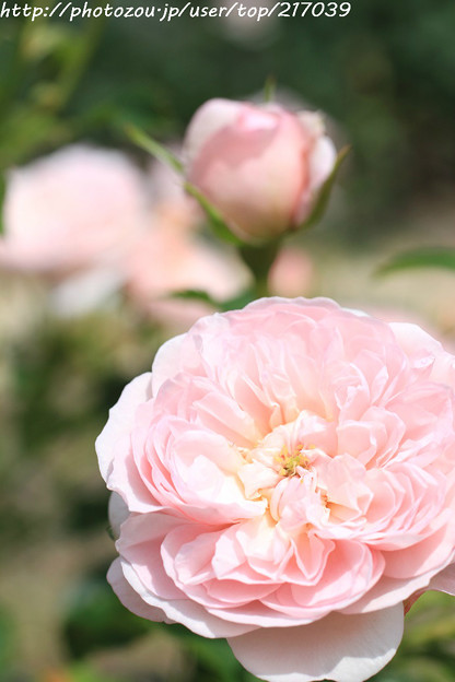 IMG_8684薔薇(ピンク・ラビット)