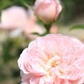 写真: IMG_8684薔薇(ピンク・ラビット)