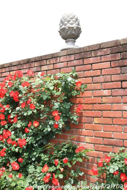 IMG_8706薔薇