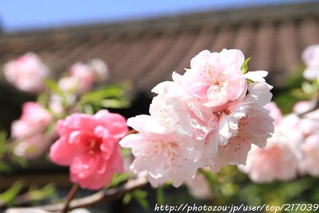 IMG_8786六孫王神社・花桃