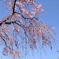 IMG_8793六孫王神社・紅枝垂桜と染井吉野