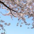 Photos: IMG_8794六孫王神社・染井吉野