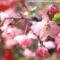 Photos: IMG_8805上品蓮台寺・お花