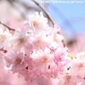 Photos: IMG_8823上品蓮台寺・紅枝垂桜