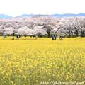 IMG_8857藤原宮跡・春ゾーン・菜の花と染井吉野