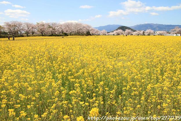 IMG_8863藤原宮跡・春ゾーン・菜の花と染井吉野