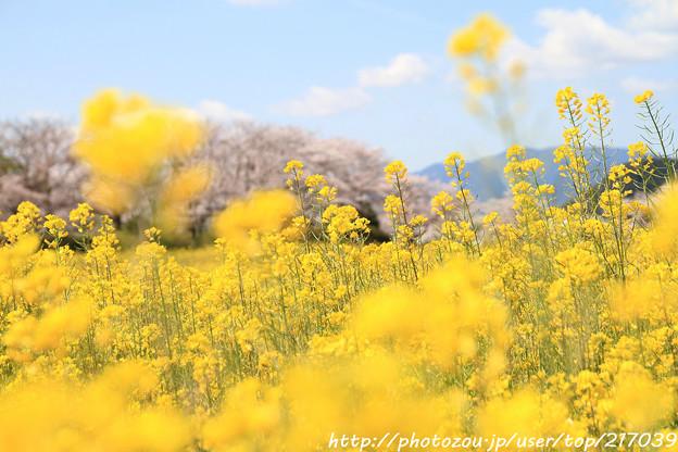 IMG_8865藤原宮跡・春ゾーン・菜の花と染井吉野