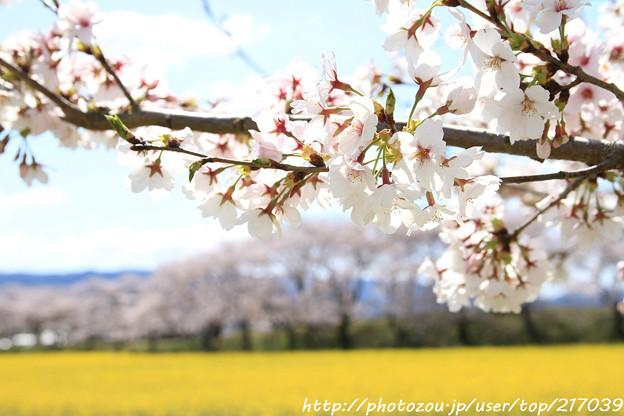 IMG_8875藤原宮跡・春ゾーン・染井吉野と菜の花