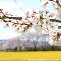 Photos: IMG_8875藤原宮跡・春ゾーン・染井吉野と菜の花