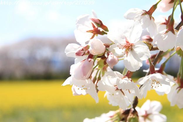 IMG_8879藤原宮跡・春ゾーン・染井吉野と菜の花