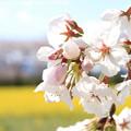 Photos: IMG_8879藤原宮跡・春ゾーン・染井吉野と菜の花
