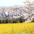 Photos: IMG_8882藤原宮跡・春ゾーン・染井吉野と菜の花