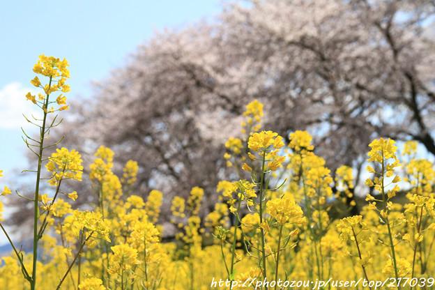 Photos: IMG_8888藤原宮跡・春ゾーン・菜の花と染井吉野