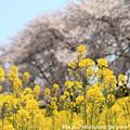 IMG_8888藤原宮跡・春ゾーン・菜の花と染井吉野