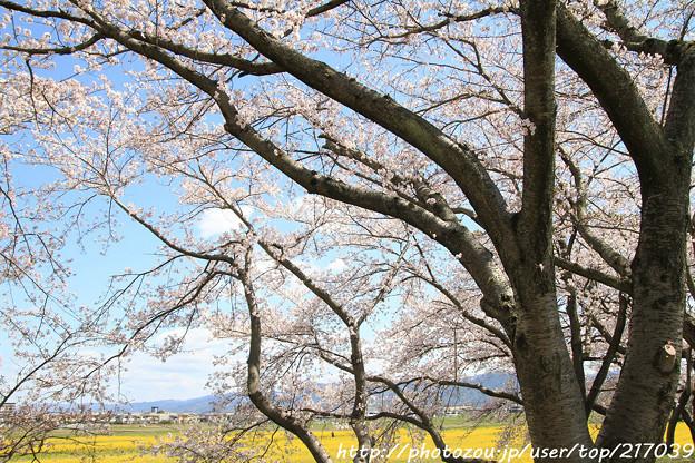 IMG_8895藤原宮跡・春ゾーン・染井吉野