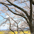 Photos: IMG_8895藤原宮跡・春ゾーン・染井吉野