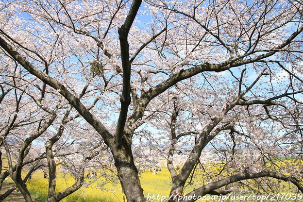 IMG_8897藤原宮跡・春ゾーン・染井吉野