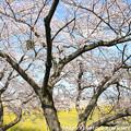 Photos: IMG_8897藤原宮跡・春ゾーン・染井吉野