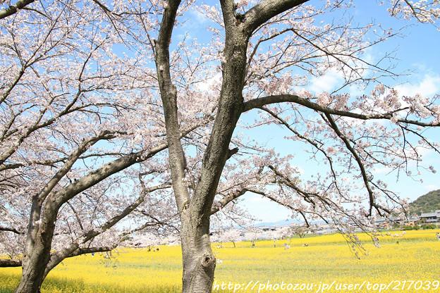 IMG_8898藤原宮跡・春ゾーン・染井吉野と菜の花