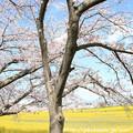 Photos: IMG_8898藤原宮跡・春ゾーン・染井吉野と菜の花