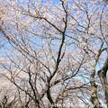 IMG_8899藤原宮跡・春ゾーン・染井吉野