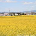 Photos: IMG_8901藤原宮跡・春ゾーン・菜の花