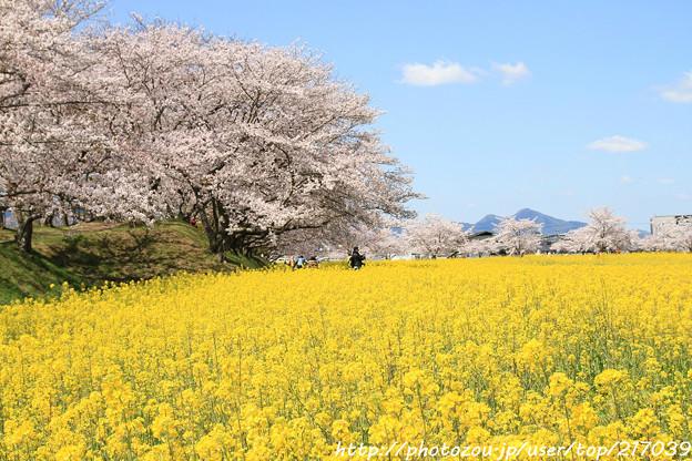 IMG_8904藤原宮跡・春ゾーン・菜の花と染井吉野