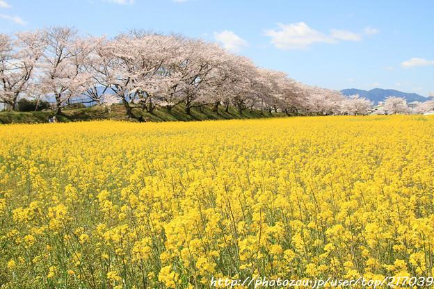 IMG_8908藤原宮跡・春ゾーン・菜の花と染井吉野